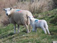 Sheep & lambs on your doorstep